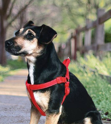 Review of Ancol 179020 Padded Nylon Dog Harness